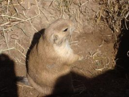 Prairie Dog Four by itsayskeds