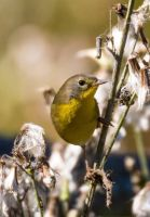 Common Yellow Throat 001 by Elluka-brendmer