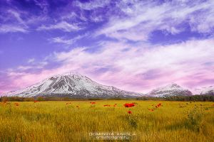 Field of poppies by DominikaAniola
