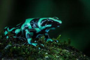 Dart Frog, Costa Rica. by MCN22