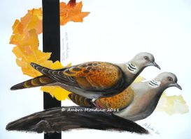 European turtle dove by flysch