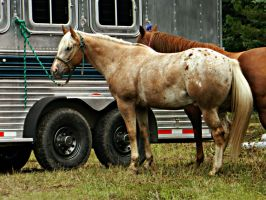 Chestnut Appaloosa Horse by EquineGhost