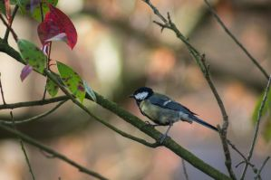 Parus major by VohuManah