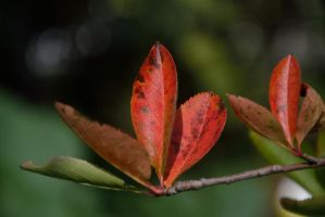 Chokeberry leaves by Risandell