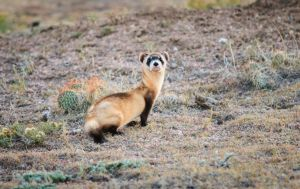 Black Footed Ferret by MirMidPhotos