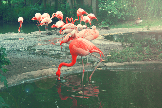Flamingos by Phalor
