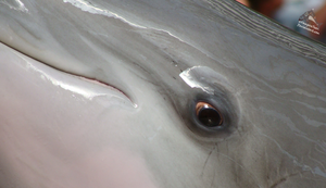 The Dolphin Eye Close-Up by RobindV