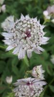Astrantia major V by Daramoon