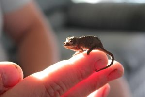 Teeny Chameleon by Shantien