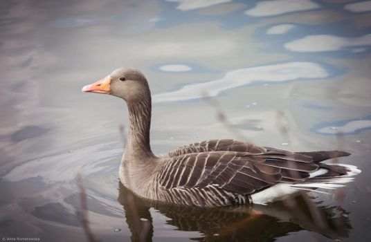 Goose by Anlin