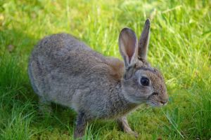 Rabbit - Is this close enough by Steve-FraserUK