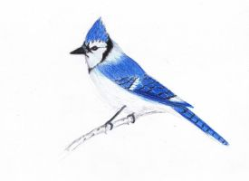 Blue Jay | Colored Pencils by TheMasterofSuicide