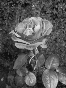 Grey Rose, with flash by sonic-fire