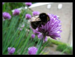 Bumblebee on a flower by Tuinhek