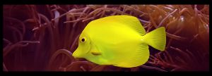 Yellow Tang by ciseaux