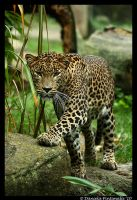 Leopard Approaching by TVD-Photography