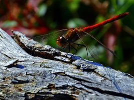 dragonfly by Schuemmel