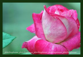 a rose for Sally by liviugherman