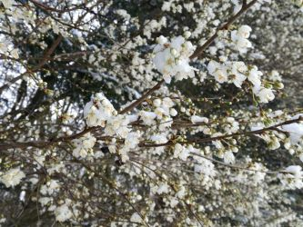 Snow on the Blossoms by SparrowHawk135