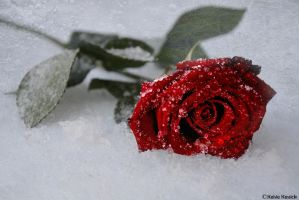Frosty Red Rose by kmkessick
