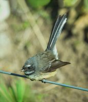 Fantail by Eruanna17
