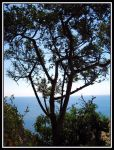 Capri tree by Lady-Vetinari