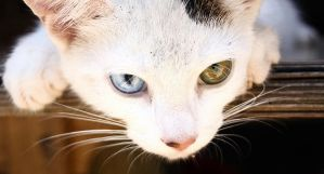 A cat with two different eyes by HouaVang