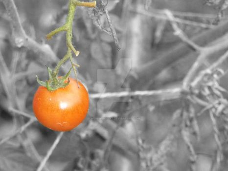 Tomato Selective Colourisation by WerewolfCas