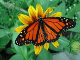 monarch butterfly by SanveanNils