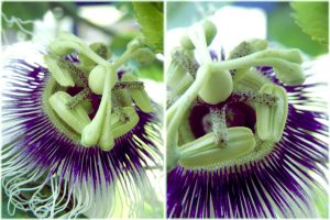 Passionflower by sunset-drive