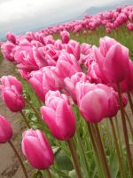 Tulips 22 by whisper-n-the-wind