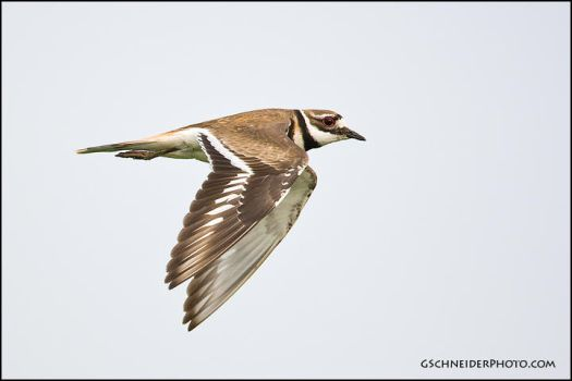 Killdeer in flight by gregster09