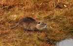 Baby Swamp Rat by JSF1