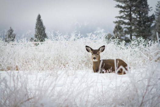 Doe at rest by icebiker