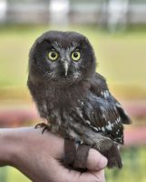 Owl Stock 09 by NellyGraceNG