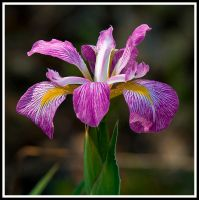 Iris by justfrog