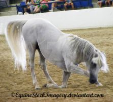 Andalusian 12 by EquineStockImagery