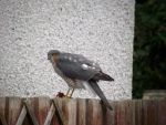 Sparrowhawk's breakfast 01 by DanaVarahi