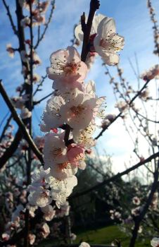 Plum flowers by Krystal89IT