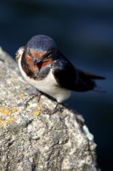 Barn Swallow by Sarah-on-Deviantart