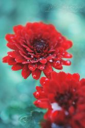 Saturated Red by Estelle-Photographie