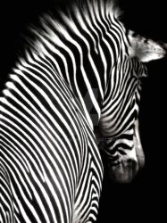 Zebra on Black by Elle-Arden