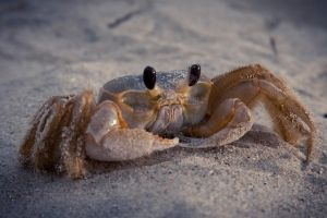 Sand Crab by bnspencer