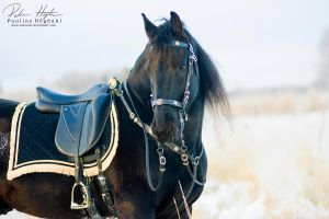 Friesian portrait by Colourize