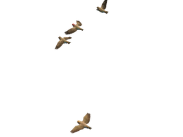 Flying Birds 06 PNG Stock by Roy3D