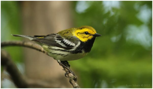 Black-throated Green Warbler by Ryser915