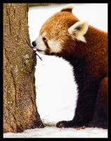 Red Panda: Tasty by Flame-of-the-Phoenix