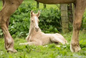 Palomino foal stock by Valkyrie-Stock