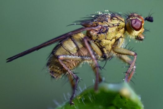 2410 Yellow dung fly by RealMantis