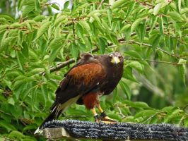 Alert Harris Hawk by wolfwings1
